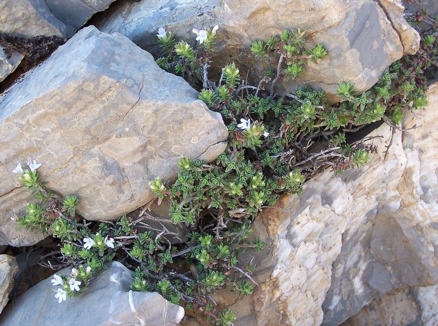 Thymus sipyleus