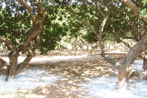 Μαστιχόδεντρα