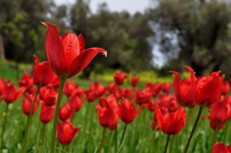 Tulipa agenensis, Χίος