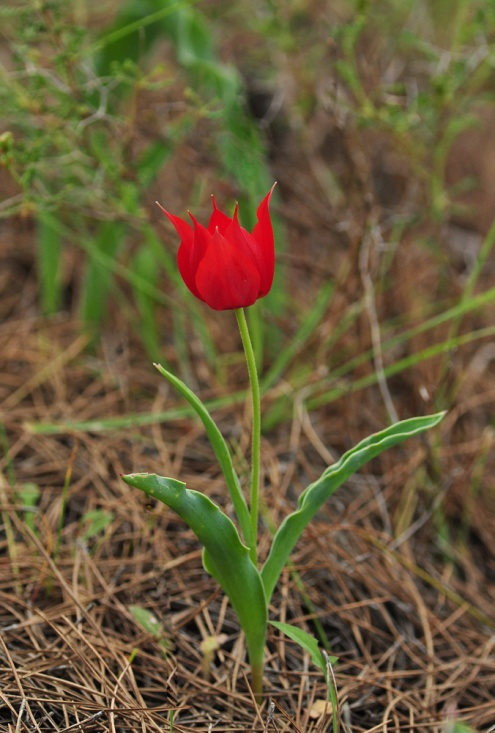 Tulipa undulatifolia, Λέσβος