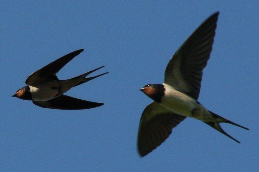 http://www.aplotaria.gr/wp-content/uploads/2015/03/Swallows.jpg