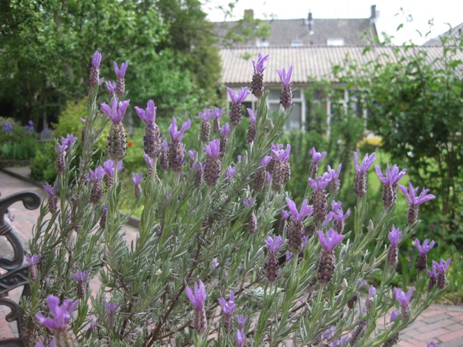 Lavandula stoechas σε κήπο στην Ολλανδία