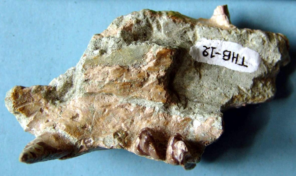 Το σαρκοφάγο Lophocyon paraskevaidisi (από το αρχείο του Καθηγητή Γεώργιου Δ. Κουφού)