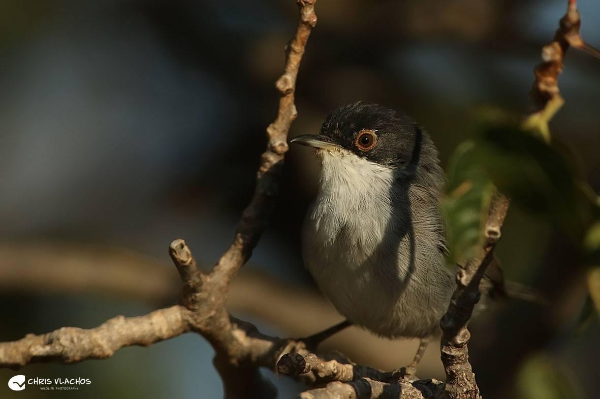 Μαυροτσιροβάκος (Sylvia melanocephala)