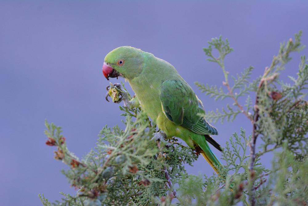 Πράσινος παπαγάλος (Psittacula krameri)