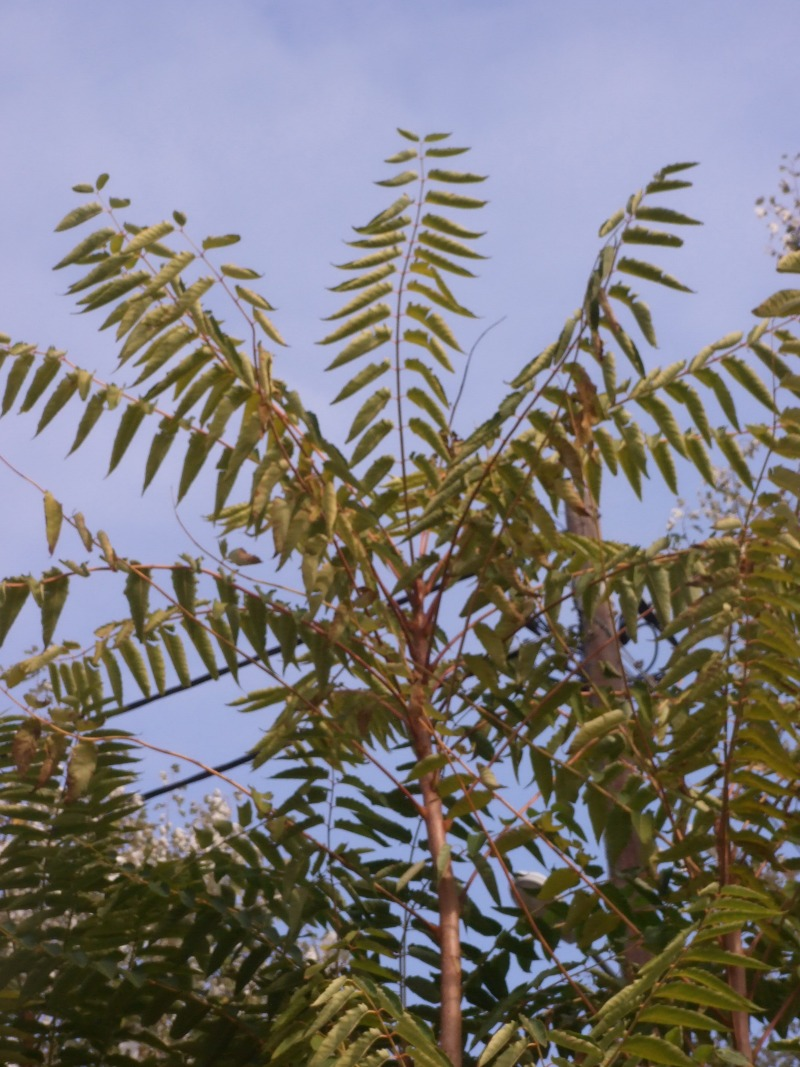 Αείλανθος (Αilantus altissima)