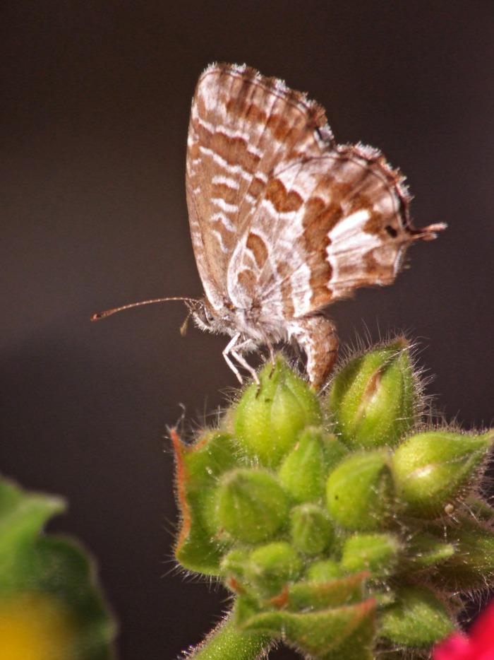 Πεταλούδα των γερανιών (Cacyreus marshali)