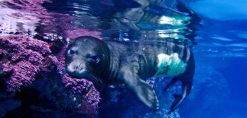 Η Μεσογειακή φώκια στο νησιωτικό σύμπλεγμα Χίου-Οινουσσών-Ψαρών